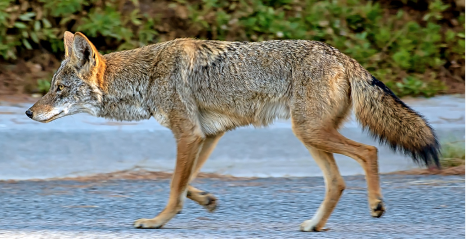 westmeadows-coyotes-2